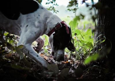 Perro-buscando-trufa